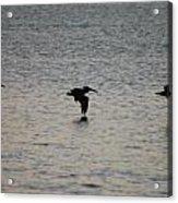 Pelicans In Flight Acrylic Print