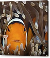 Percula Clownfish In Its Host Anemone Acrylic Print