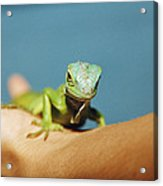 Pet Iguana Acrylic Print by Cristina Pedrazzini