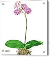 Phalaenopsis Moth Orchid Acrylic Print