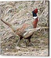 Pheasant Walking Acrylic Print