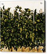 Photoperiodicity In Soybean Plants Acrylic Print by Science Source