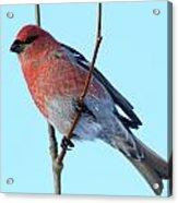 Pine Grosbeak Acrylic Print