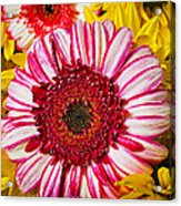 Pink And Yellow Mums Acrylic Print