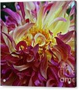 Pink Curls Acrylic Print