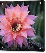 Pink Echinopsis Acrylic Print