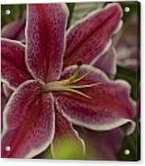 Pink-lily Acrylic Print