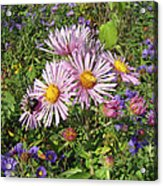 Pink New York Aster- Symphyotrichum Novi-belgii Acrylic Print