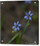 Pointed Blue-eyed Grass Acrylic Print