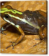 Poison Frog With Eggs Acrylic Print