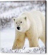 Polar Bear, Churchill, Manitoba Acrylic Print