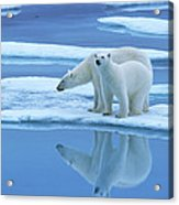 Polar Bear Ursus Maritimus Pair On Ice Acrylic Print