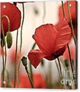 Poppy Flowers 04 Acrylic Print