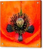 Poppy Heart Acrylic Print