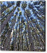 Power In Pines Acrylic Print