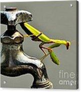 Praying Mantis Acrylic Print by Dean Harte