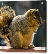 Praying Squirrel  Acrylic Print