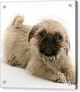 Pugzu And Pug Puppies Acrylic Print by Jane Burton