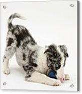 Puppy Playing With A Ball Acrylic Print