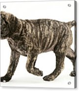 Puppy Trotting Acrylic Print