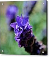 Purpel Lavender Acrylic Print