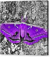 Purple Polyphemus Acrylic Print