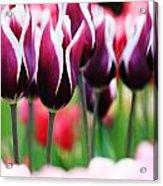 Purplish Tulips Acrylic Print
