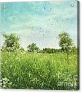 Queen Anne's Lace Wildflowers Acrylic Print