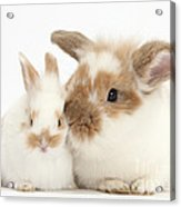 Rabbit And Baby Bunny Acrylic Print