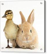 Rabbit And Duckling Acrylic Print