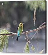 Rainbow Bee-eater V4 Acrylic Print