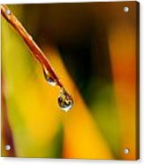 Raindrop On Strelitzia Reginae Acrylic Print