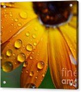 Rainy Day Daisy Acrylic Print