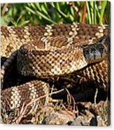 Rattlesnake Acrylic Print