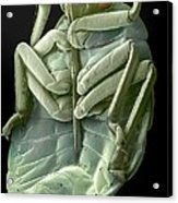 Red Bug, Sem Acrylic Print