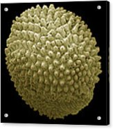 Red Campion Seed, Sem Acrylic Print