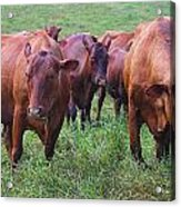 Red Cattle In Jamaica Acrylic Print