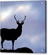 Red Deer Stag Acrylic Print by Duncan Shaw
