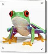 Red Eyed Frog (agalychnis Callidryas) White Background Acrylic Print