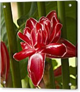 Red Ginger Lily Acrylic Print