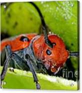 Red Milkweed Beetle Acrylic Print