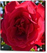 Red Rose Acrylic Print by Saifon Anaya