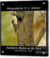 Red-shafted Flicker Acrylic Print