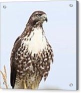Red-tail Hawk  Acrylic Print