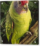 Red-tailed Amazon Amazona Brasiliensis Acrylic Print