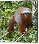Red Titi Monkey Acrylic Print