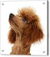 Red Toy Poodle Acrylic Print