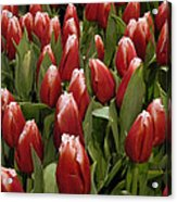 Red Tulip Heaven Acrylic Print