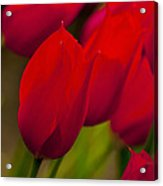 Red Tulips In Holland Acrylic Print