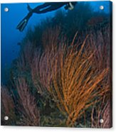 Red Whip Fan Coral With Diver, Papua Acrylic Print